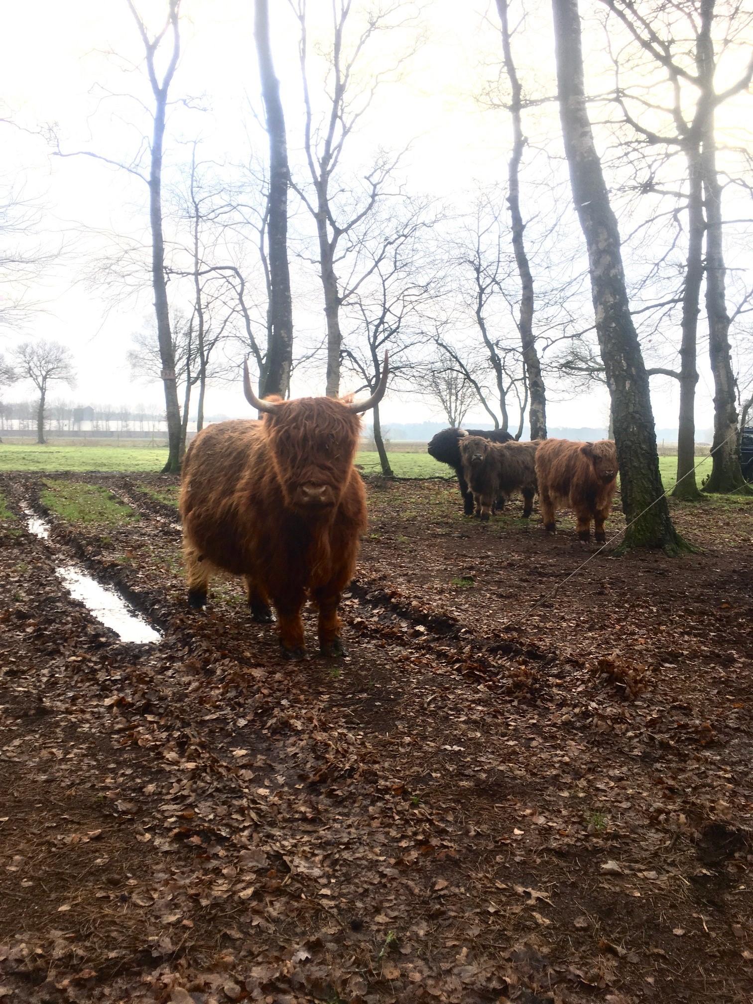 De Boshut en kudde Schotse Hooglanders
